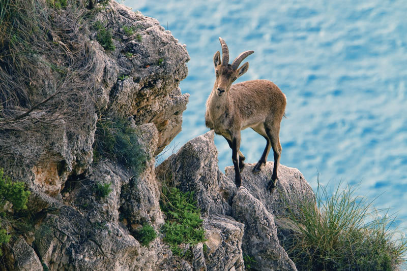 The Spanish ibex is an endemic species, present from the mouth of the Ebro river to Gibraltar.
