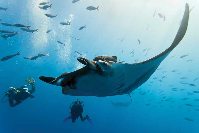 Fiji is an ideal place for diving with sharks and other marine species.